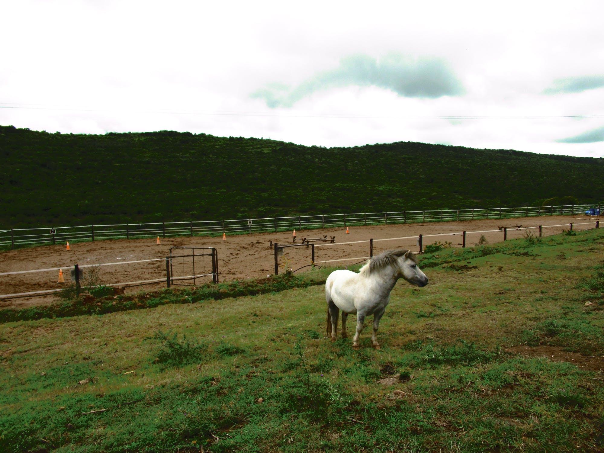Liten vit häst